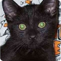Domestic Shorthair Cat for adoption in Carlisle, Pennsylvania - Jordan