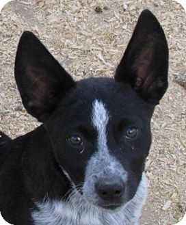 Australian Cattle Dog Mix Puppy for adoption in Dublin, California - Chase