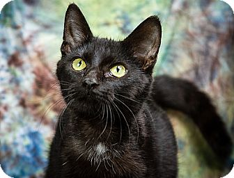 Domestic Shorthair Cat for adoption in Anna, Illinois - BEAUTIFUL