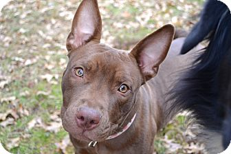 Bull Terrier/American Pit Bull Terrier Mix Puppy for adoption in Reisterstown, Maryland - Mayflower