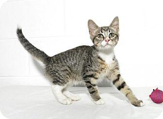 Domestic Shorthair Kitten for adoption in Lufkin, Texas - Car Cat