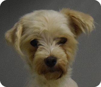 Maltese Dog for adoption in Hartford, Kentucky - Hillary