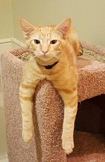 Domestic Shorthair Cat for adoption in Monrovia, California - Whiskey