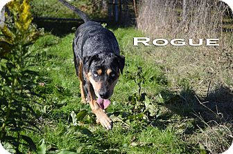 Catahoula Leopard Dog Dog for adoption in Texarkana, Arkansas - Rogue