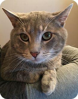 Domestic Shorthair Cat for adoption in Cincinnati, Ohio - Ernie