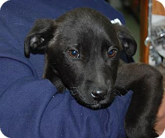 Shepherd (Unknown Type) Mix Puppy for adoption in Brooklyn, New York - Blitzen