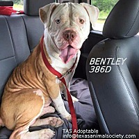 American Bulldog/Terrier (Unknown Type, Small) Mix Dog for adoption in Spring, Texas - Bentley