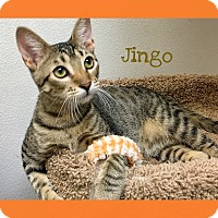 Adopt A Pet :: Jingo - Foothill Ranch, CA