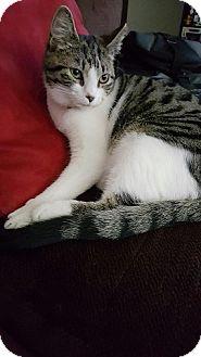 Domestic Shorthair Cat for adoption in Seminole, Florida - Vivienne