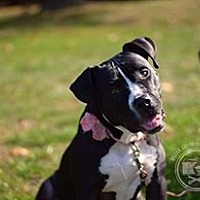 Adopt A Pet :: Babette - New York, NY
