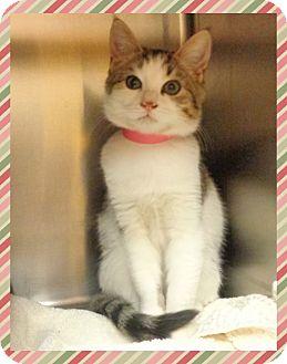 Domestic Shorthair Kitten for adoption in Marietta, Georgia - TILLY- available 11/22/16