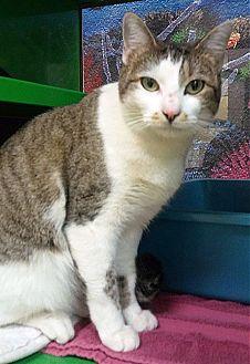 Domestic Shorthair Cat for adoption in Arlington/Ft Worth, Texas - Gigi