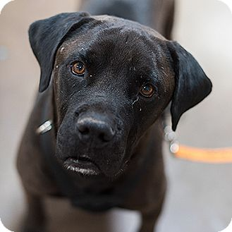 Mastiff/Labrador Retriever Mix Dog for adoption in Kanab, Utah - Bull