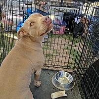 Adopt A Pet :: Layla - Las Vegas, NV