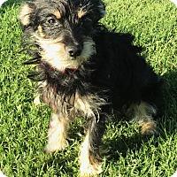 Adopt A Pet :: Ashley - Los Angeles, CA