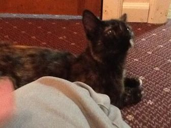 Domestic Shorthair/Domestic Shorthair Mix Cat for adoption in Bedford, New Hampshire - Perla