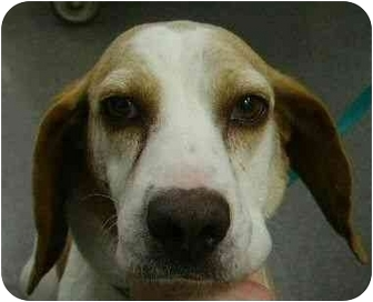 Beagle Mix Dog for adoption in Inman, South Carolina - Erra