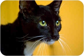 Domestic Shorthair Cat for adoption in Alexandria, Virginia - Nyx
