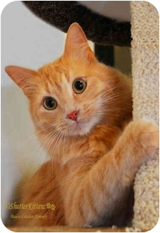 Maine Coon Cat for adoption in San Diego, California - George