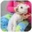 Photo 1 - Maltese/Schnauzer (Miniature) Mix Dog for adoption in Worcester, Massachusetts - Amber