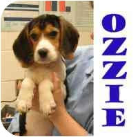 Beagle Puppy for adoption in Pembroke Pines, Florida - Ozzie