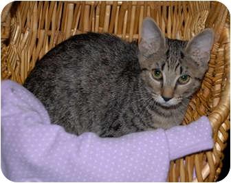 Domestic Shorthair Kitten for adoption in Smithfield, North Carolina - Goober