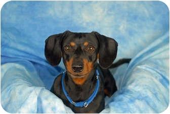 Dachshund Dog for adoption in Ft. Myers, Florida - Zippy