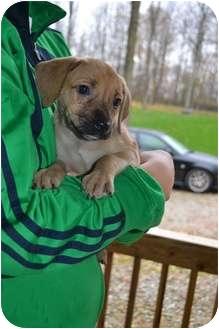 Labrador Retriever Mix Puppy for adoption in Salem, Massachusetts - Armani