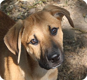 Shepherd (Unknown Type) Mix Puppy for adoption in Marion, Arkansas - Hannah