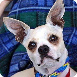 Boston Terrier Mix Dog for adoption in Vista, California - Robbie