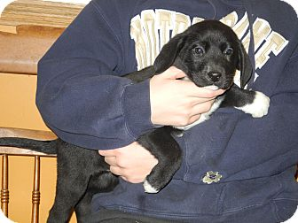Labrador Retriever Mix Puppy for adoption in Centerpoint, Indiana - Diesel