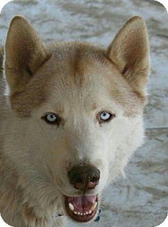 Siberian Husky Dog for adoption in Apple valley, California - Luke