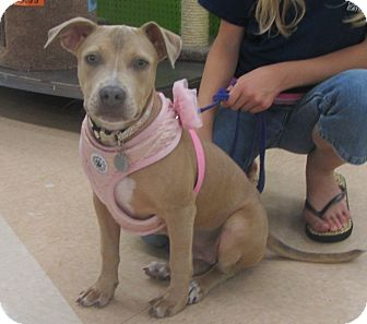 Pit Bull Terrier/Retriever (Unknown Type) Mix Dog for adoption in Lincolnton, North Carolina - Petunia