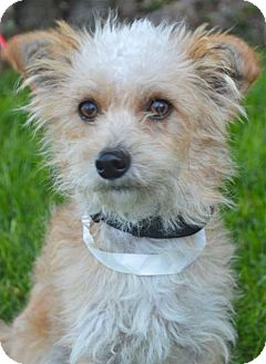 Terrier (Unknown Type, Small)/Poodle (Miniature) Mix Puppy for adoption in Los Angeles, California - Casper