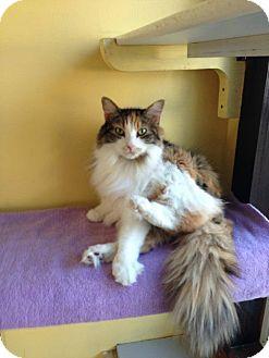 Maine Coon Cat for adoption in Lancaster, Massachusetts - Cassy