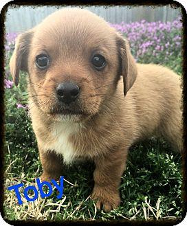 Corgi Mix Puppy for adoption in Glastonbury, Connecticut - Toby