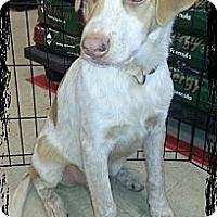 Adopt A Pet :: Solomon - Linton, IN