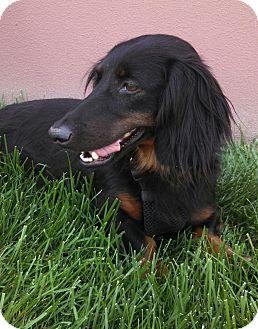 Dachshund Dog for adoption in Wichita, Kansas - Molly