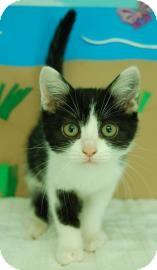 Domestic Shorthair Kitten for adoption in Bradenton, Florida - Donna