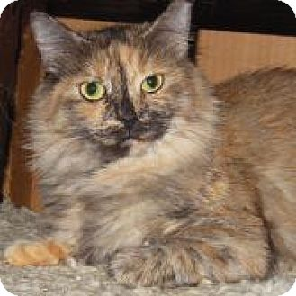 Maine Coon Cat for adoption in Mission Viejo, California - Snickers
