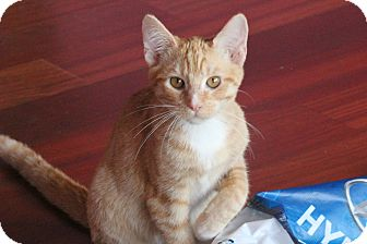 Domestic Shorthair Cat for adoption in West Hills, California - Oscar