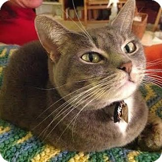 American Shorthair Cat for adoption in HILLSBORO, Oregon - MOLLY MCGOO