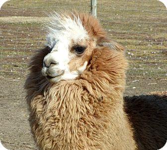 Alpaca for adoption in Liberty Center, Ohio - Halston