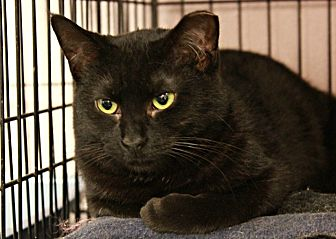 Domestic Shorthair Cat for adoption in New Richmond,, Wisconsin - Birdie