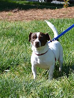 Chihuahua/Jack Russell Terrier Mix Dog for adoption in Rock Hill, South Carolina - Newby