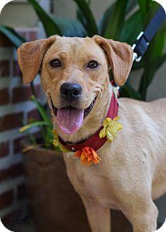 Labrador Retriever/Hound (Unknown Type) Mix Dog for adoption in Baton Rouge, Louisiana - Astrid