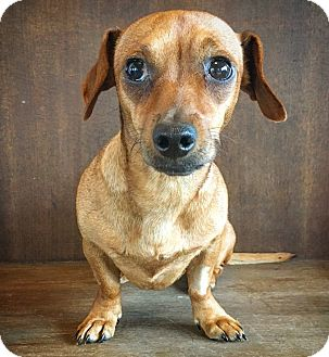 Dachshund Mix Dog for adoption in Fredericksburg, Texas - Pancake