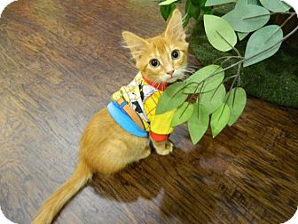 Domestic Mediumhair Kitten for adoption in The Colony, Texas - Wasabi Noggins