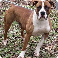 Adopt A Pet :: Joe Boxer - Elkins, WV