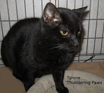 Domestic Shorthair Cat for adoption in Drippings Springs, Texas - Tyrone